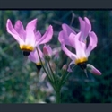 Picture for category Dodecatheon