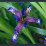 Picture of Iris graminea