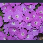 Picture of Primula 'Lilac Fairy'