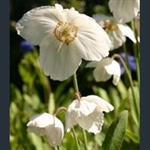 Picture of Meconopsis 'Marit'