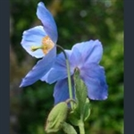 Picture of Meconopsis 'Stewart Annand'